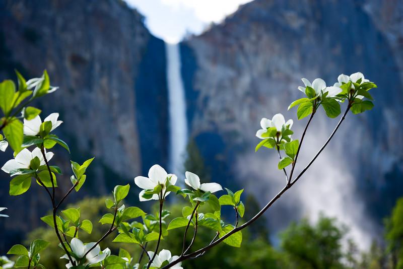 Dogwoods and Bridalveil Fall - Yosemite