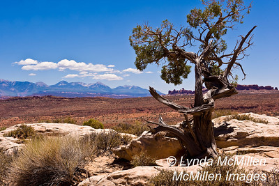 Ancient Bristlecone pine in high desert of Utah, Arches National Park.
