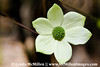Dogwood flower (six petals) Yosemite NP