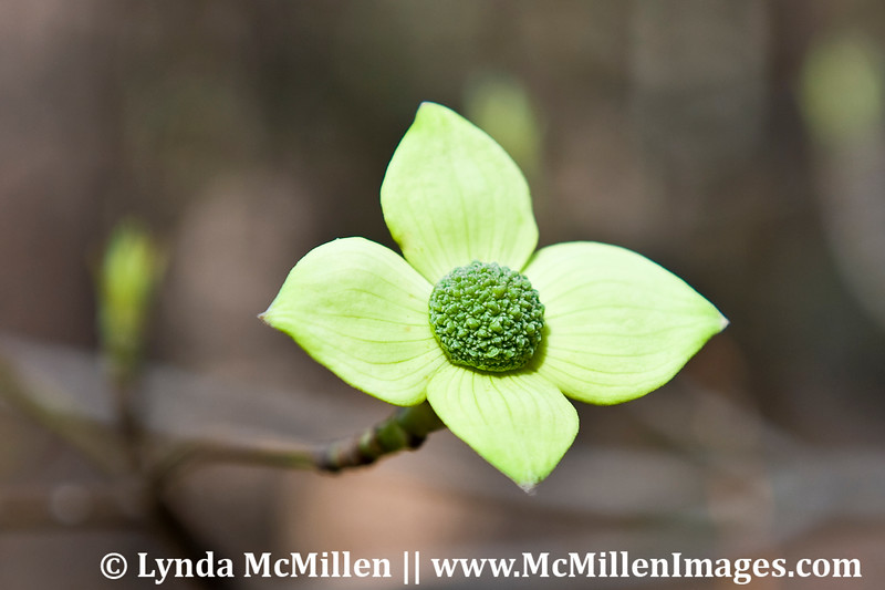 Dogwood bloom (4our petals)  Yosemite NP