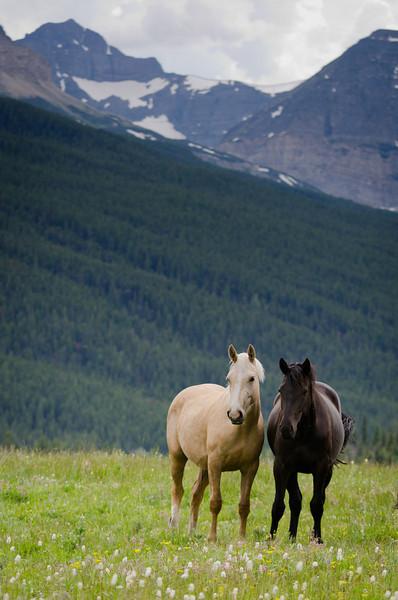 Horses in Field<br /> Glacier National Park