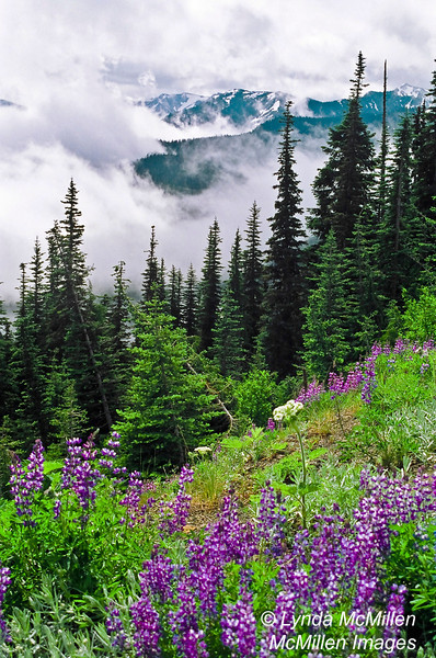 Lavender blooming on Hurricane Ridge, Olympic National Park, Washington.