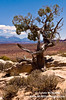Ancient Bristlecone Pine with La Sal Mountains in background, Arches NP, Utah
