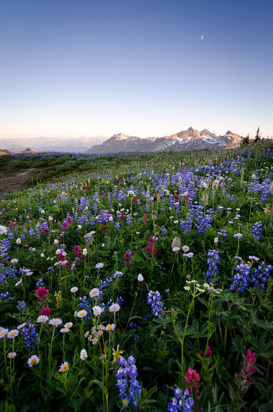 Wildflowers<br /> Mt. Rainier National Park