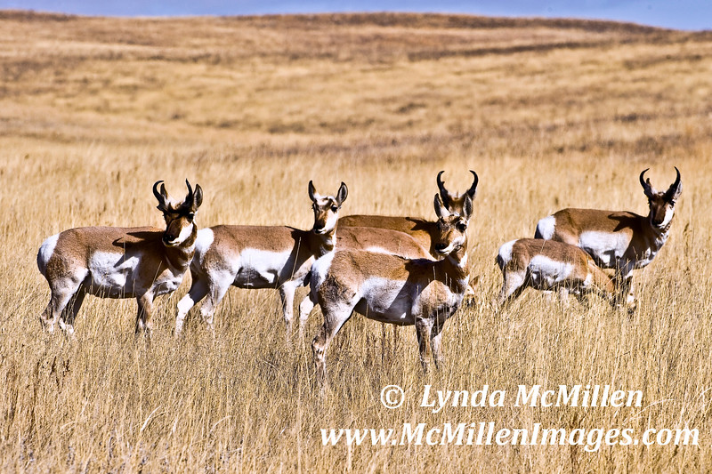 Antelope in Custer State Park, South Dakota