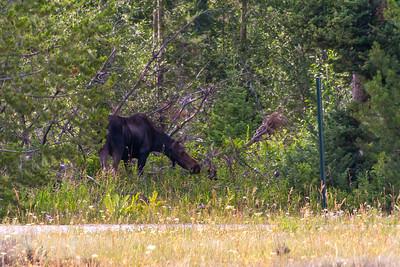 Moose at Grand Teton National Park
