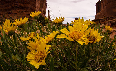 Wild flowers in the Arches National Park at Moab, Utah.