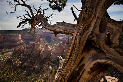 """""""Old Tree at Coke Oven Trail"""" at the Colorado National Monument in Grand Junction, Colorado."""