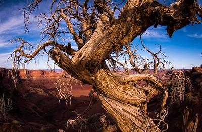 """""""Knarly"""", Dead Horse Point National Park, outside of Moab, Utah."""