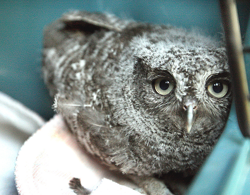 . A young screech owl rescued from Green Valley Road in Watsonville rehabs at the Native Animal Rescue shelter.  (Dan  Coyro -- Santa Cruz Sentinel)