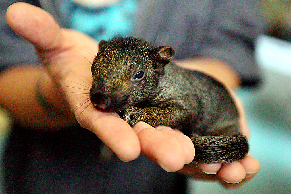 . A sleepy, 4-week-old squirrel is one of 200 anmials being cared for at Native Animal Rescue. (Dan Coyro -- Santa Cruz Sentinel)