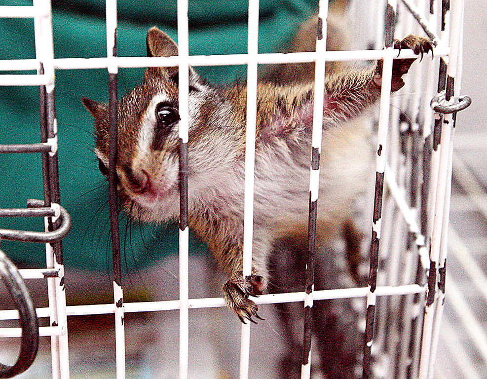 . A chipmunk found at the landfill recuperates at the Native Animal Rescue in Santa Cruz.  (Dan  Coyro -- Santa Cruz Sentinel)