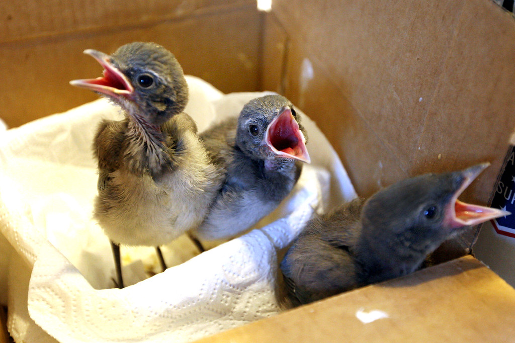 . Baby scrub jays chirp for their breakfast at Native Animal Rescue shelter in Santa Cruz.  (Dan  Coyro -- Santa Cruz Sentinel)