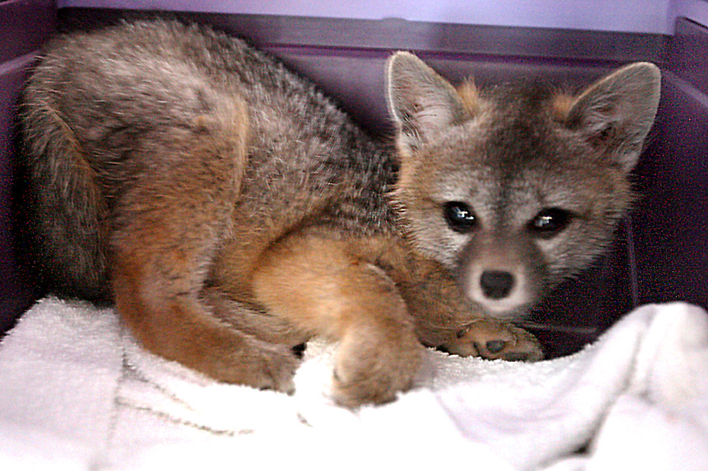 . A five-week-old abandoned fox found in Boulder Creek continues to get stronger at the Native Animal Rescue shelter on 17th Avenue in Santa Cruz.  (Dan Coyro -- Santa Cruz Sentinel)