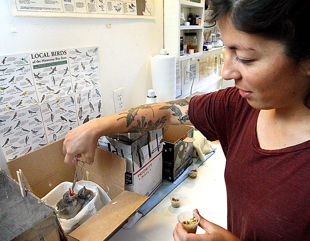 . Kristen Reyes feeds worms to baby scrub jays at the Native Animal Rescue shelter in Santa Cruz.  (Dan  Coyro -- Santa Cruz Sentinel)