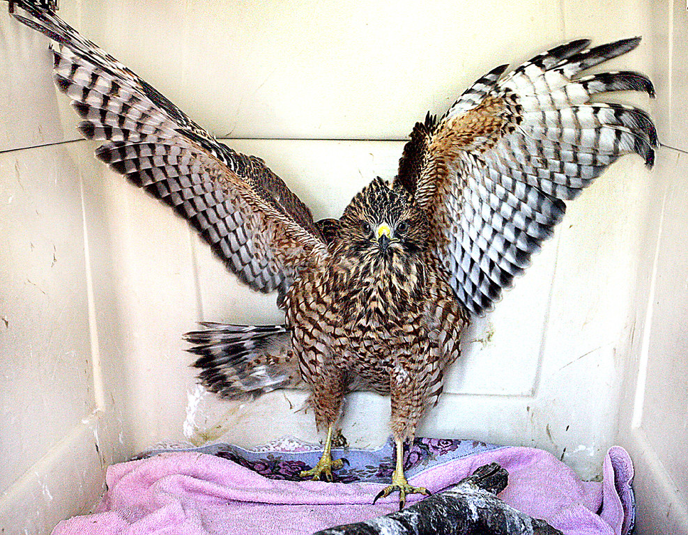 . A recuperating, red-shouldered hawk puts on a defensive show in his container at the Native Animal Rescue shelter.  (Dan  Coyro -- Santa Cruz Sentinel)