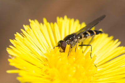 syrphid fly species (Syrphid sp.)pollinating a yellow flower