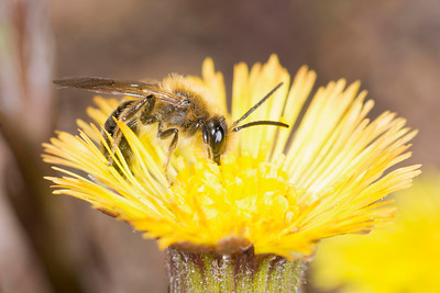 ceratina bee pollinating coltsfoot flower in early spring
