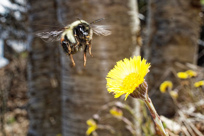 bumblebee (Bombus sp.) pollinating in springtime in flight wide angle