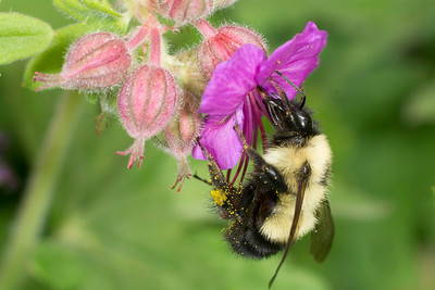 Bumblebee (Bombus sp.) pollinating in springtime