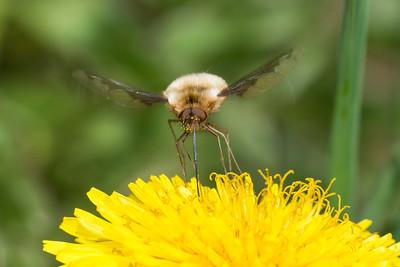 Beefly (Bombylius major) feeding on flower nectar in spring