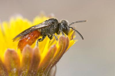 halictid cuckoo sweat bee (Sphecodes sp.) pollinating flower in spring