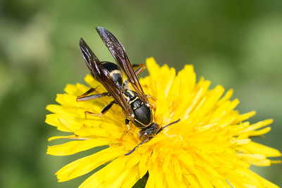 paper wasp (Polistes sp.) pollinating a yellow flower