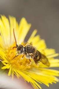 halictid cuckoo sweat bee (Nomada sp.) pollinating flower in spring