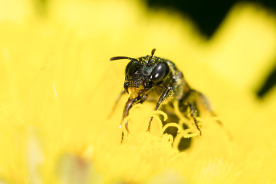 Small sweat bee pollinating flower