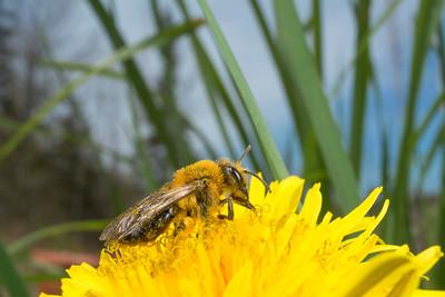 halictid sweat bee (Halictus sp.) pollinating flower in spring