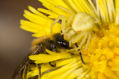 Andrena digger bee (Andrena species) being eaten by a yellow crab-spider