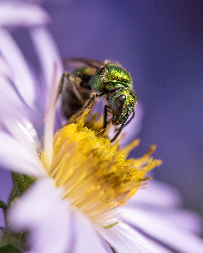 11-2-16 Agapostemon Bee - Chadds Ford, PA-41