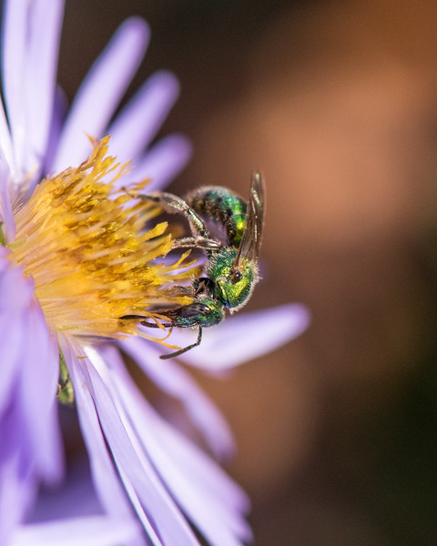 11-2-16 Agapostemon Bee - Chadds Ford, PA-25