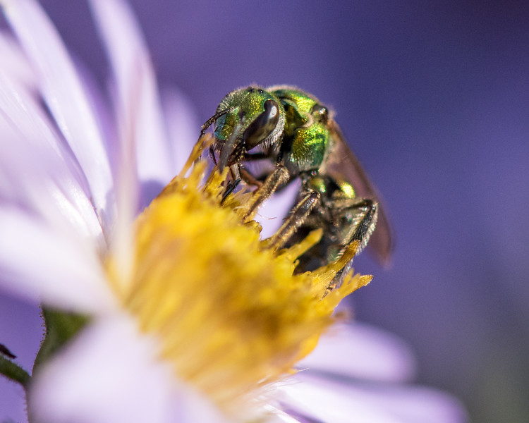 11-2-16 Agapostemon Bee - Chadds Ford, PA-35