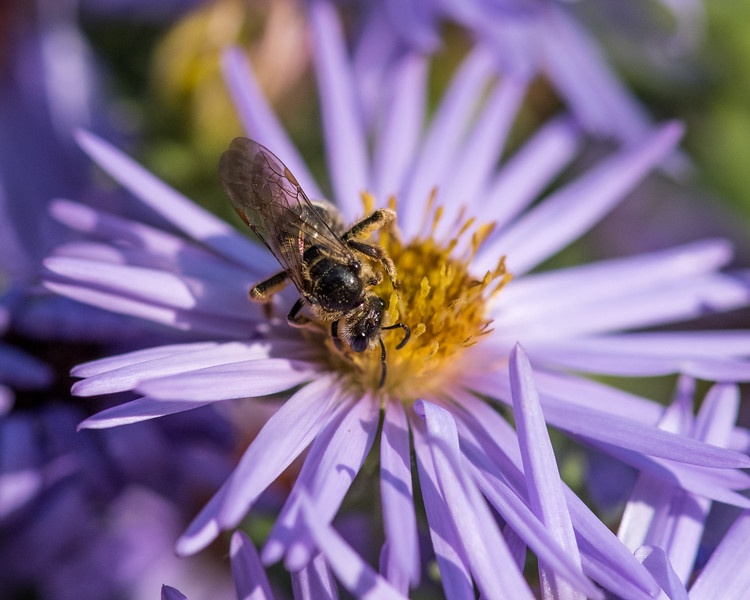 11-2-16 Hesperapis Bee - Chadds Ford, PA-19