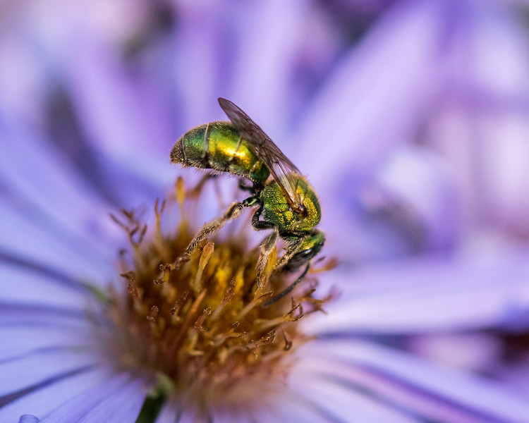 11-2-16 Agapostemon Bee - Chadds Ford, PA-75