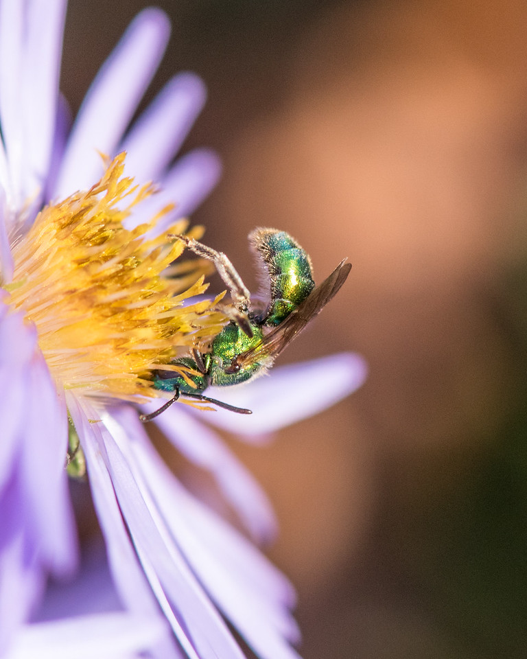 11-2-16 Agapostemon Bee - Chadds Ford, PA-26