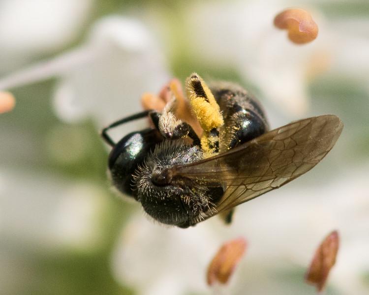 7-19-16 Misc  Bee on Veronicastrum - Flint Meadow-2556