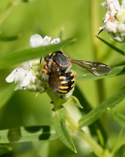 7-19-16 Anthidium Bee on Mountain Mint  - Flint Meadow-2495