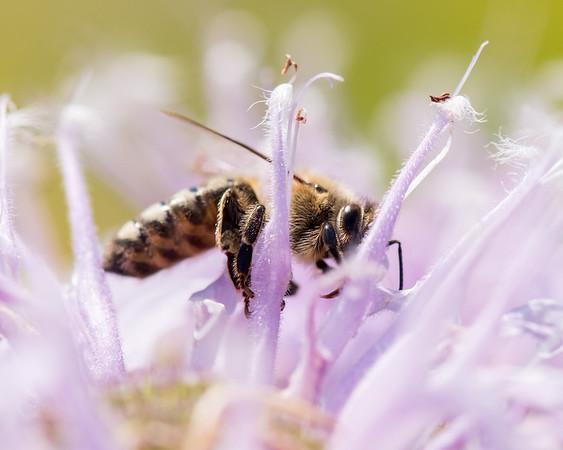 7-19-16 Honey Bee on Bee Balm - Flint Meadow-2377