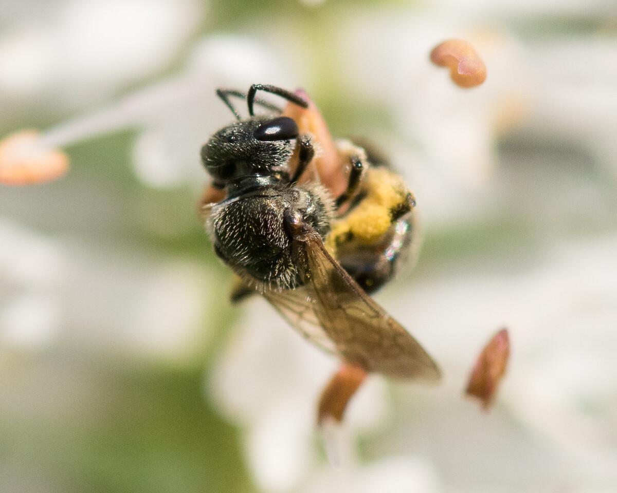 7-19-16 Misc  Bee on Veronicastrum - Flint Meadow-2545