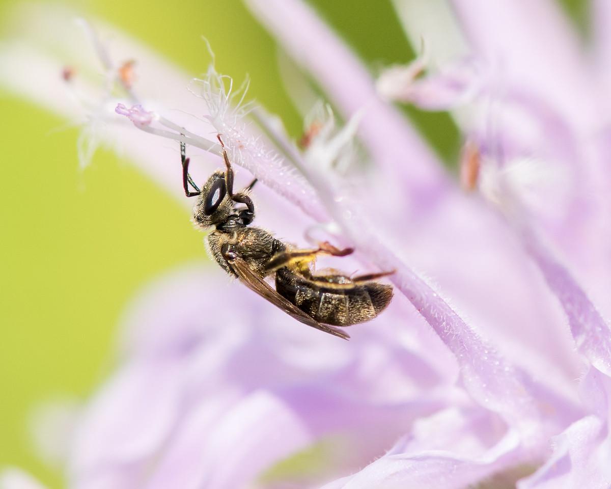 7-19-16 Misc  Bee on Bee Balm  - Flint Meadow-2440