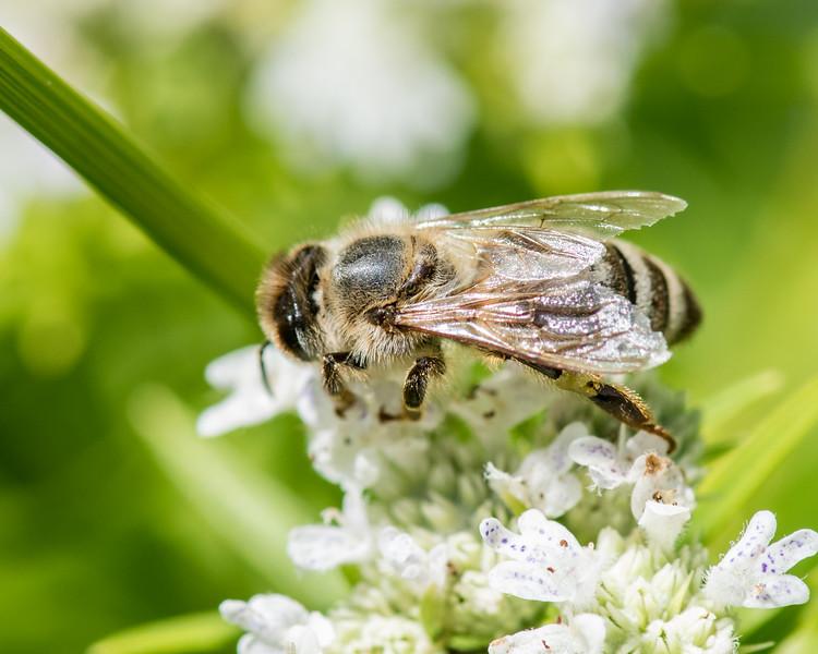 7-19-16 Misc  Bee on Mountain Mint  - Flint Meadow-2410