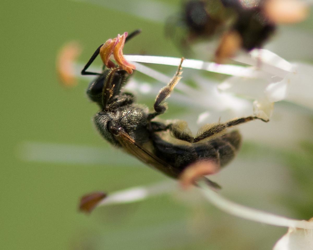 7-19-16 Misc  Bee on Veronicastrum - Flint Meadow-2539