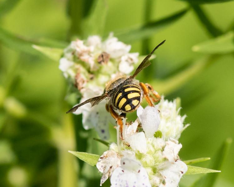 7-19-16 Anthidium Bee on Mountain Mint  - Flint Meadow-2492