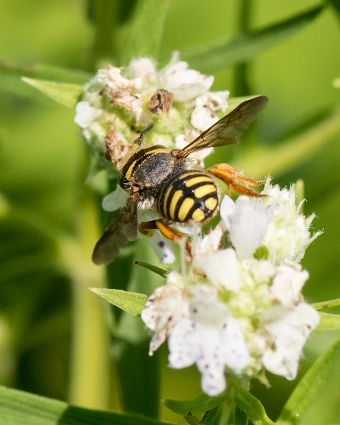 7-19-16 Anthidium Bee on Mountain Mint  - Flint Meadow-2493