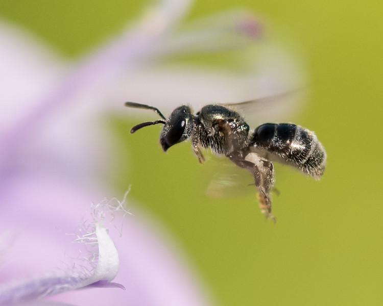 7-19-16 Misc  Bee - Flint Meadow-2529