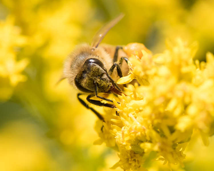 7-19-16 Honey Bee on Golden Rod - Flint Meadow-2381