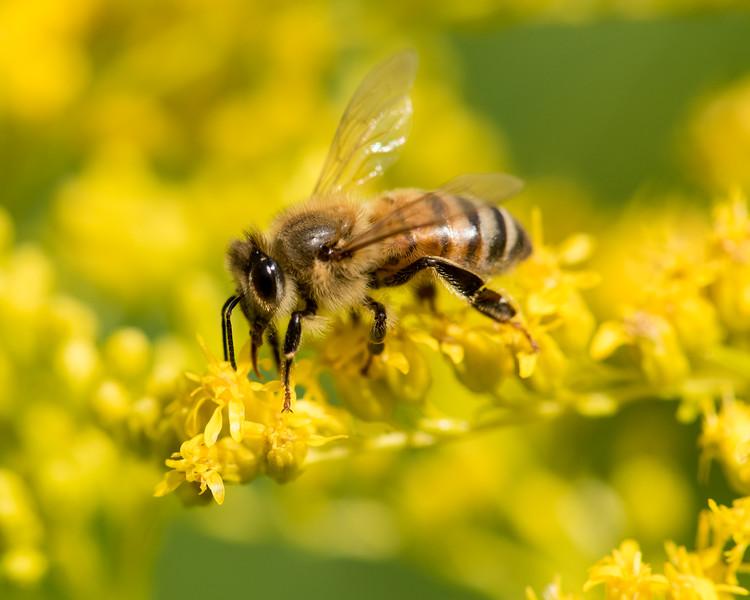 7-19-16 Honey Bee on Goldenrod - Flint Meadow-2353