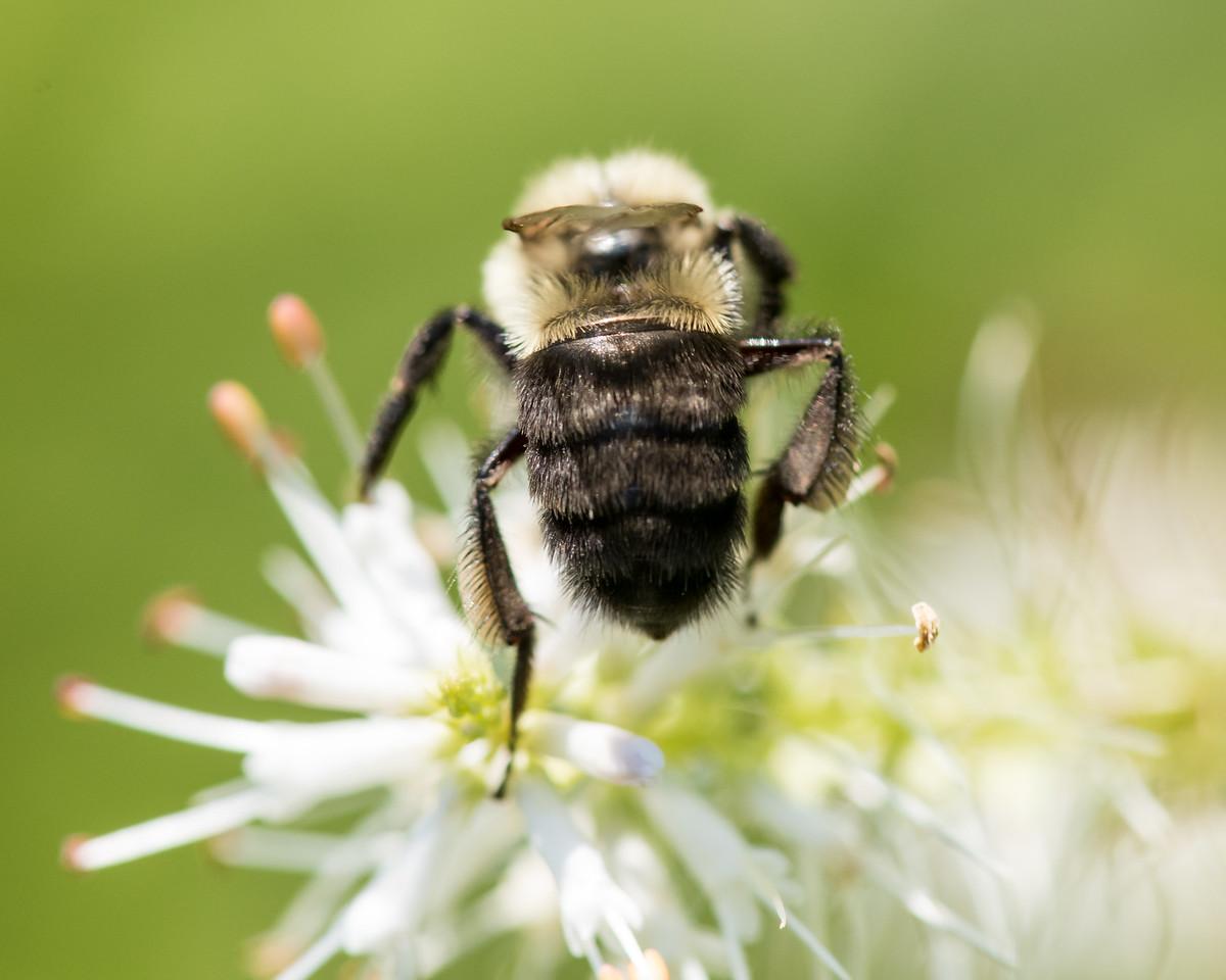 7-19-16 Bumble Bee  - Flint Meadow-2391
